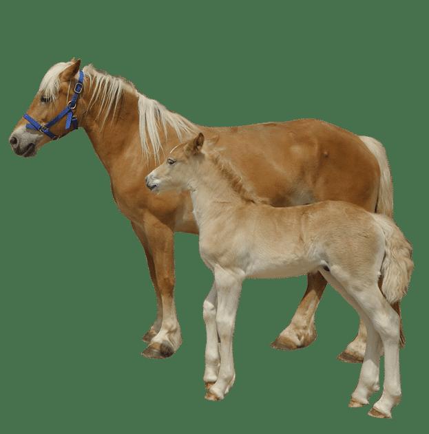 cavalli-home